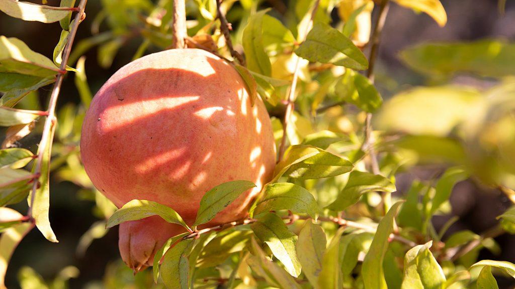 Granada en el árbol